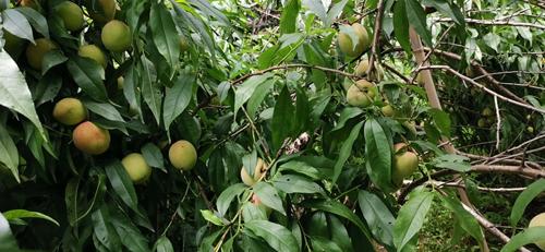 乐享丰收喜悦,华宇娱乐注册登陆科技园的水蜜桃成熟了!